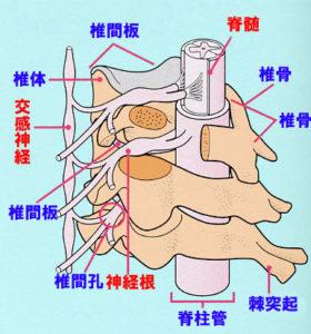 千葉県で耳鳴り、めまい、吐き気などの自律神経症状でお困りの子供が通院する整体院が教える神経と背骨の関係図