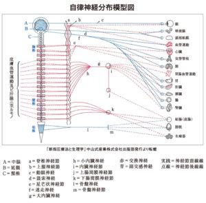 千葉県で子供の精神的な問題の本当の原因を改善させる整体が指摘する健康と自律神経の関係図
