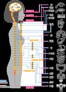 千葉県で起立性調節障害を改善させる整体院が問題とする自律神経のメカニズムの解剖図