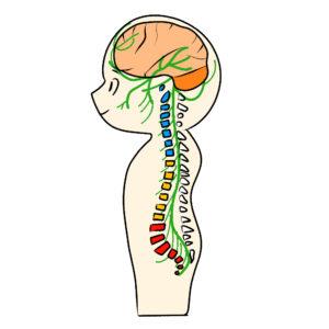背骨と神経